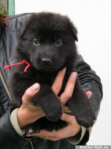 Развитие щенка лайки: какие прививки делают щенкам.